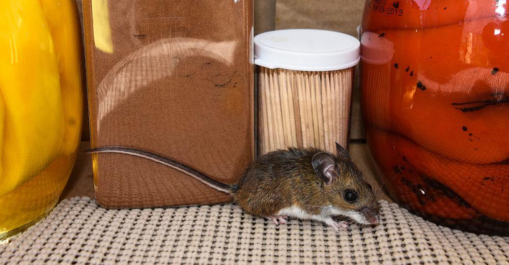 Myszy w domu Landshark1
