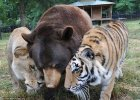 Niedźwiedź, lew i tygrys. Ich przyjaźń trwa od 15 lat