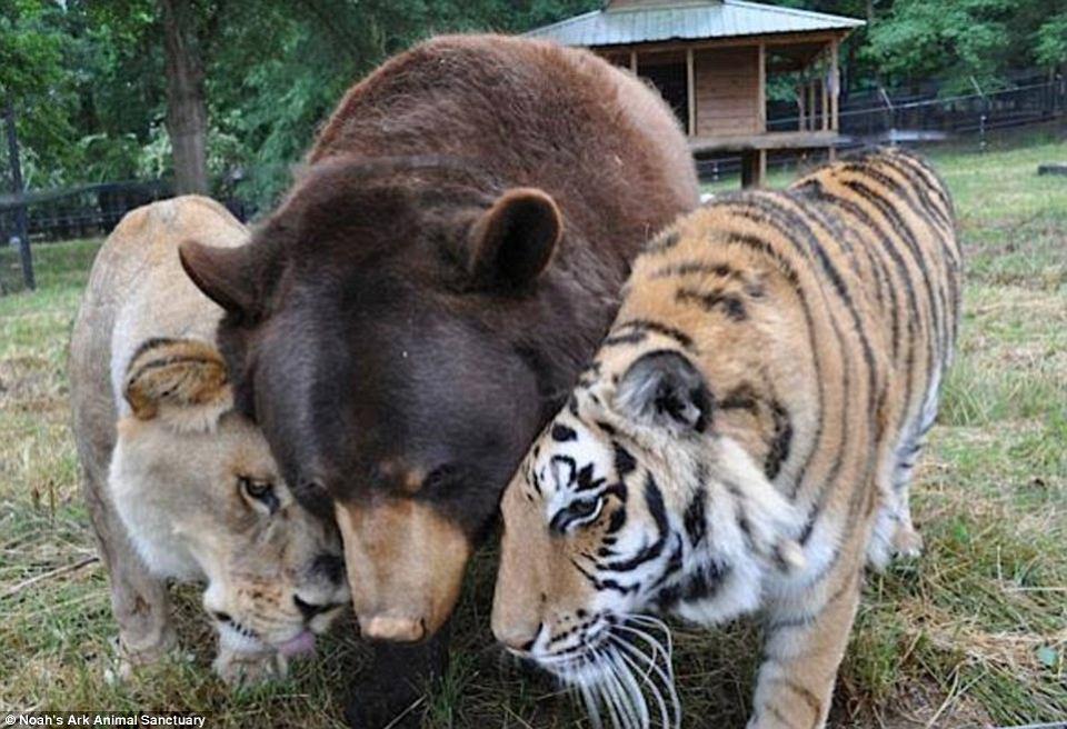 Zdjęcie numer 1 w galerii - Niedźwiedź, lew i tygrys. Ich przyjaźń trwa od 15 lat