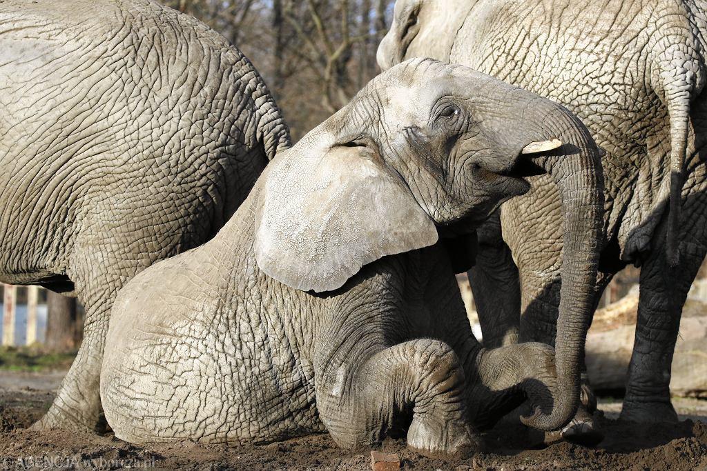 Słoń (zdjęcie ilustracyjne)