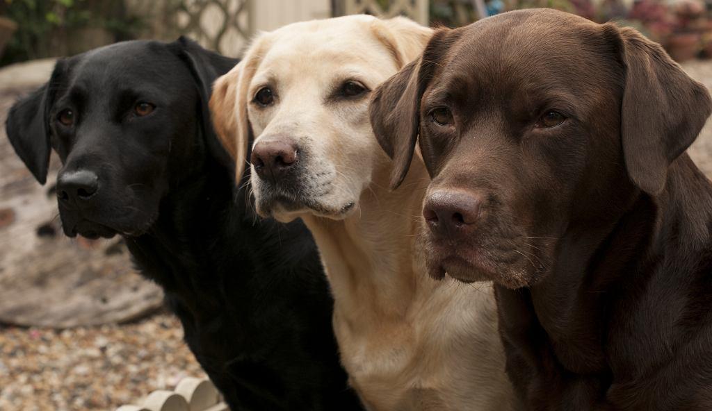 Labrador to doskonały kompan, ale musimy pamiętać, że aby nim był, musimy mu poświęcić swój czas.
