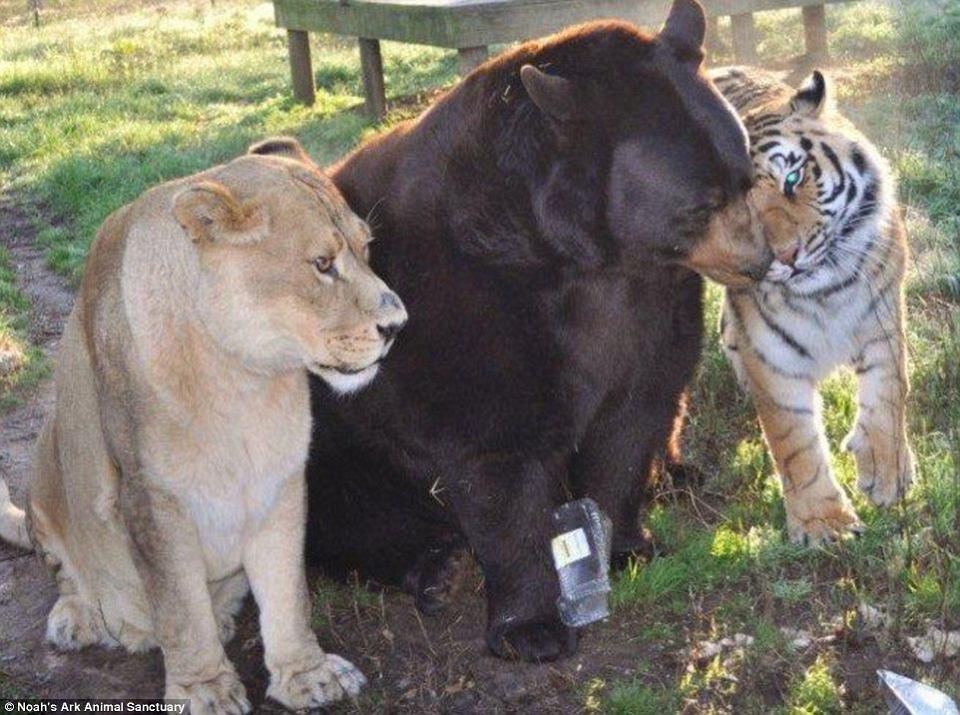 Zdjęcie numer 2 w galerii - Niedźwiedź, lew i tygrys. Ich przyjaźń trwa od 15 lat