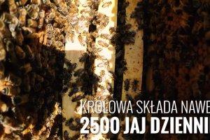 Wiedzieliście, że kilogram miodu powstaje z 4 milionów kwiatów? 7 ciekawych faktów o pszczołach