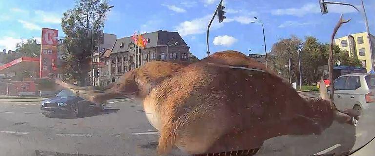 Bielsko-Biała. Jeleń wbiegł z impetem wprost pod samochód nauki jazdy