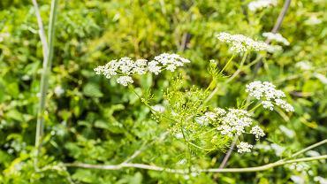 Świerząbek był niegdyś popularnym warzywem, a dziś jest już niemal zapomniany. Jak go rozpoznać i przyrządzać?