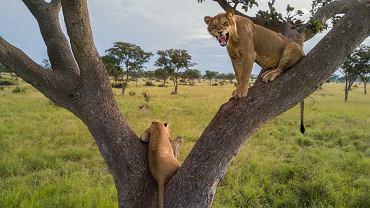 Lwy w ugandyjskim Parku Narodowym Królowej Elżbiety większość życia spędzały na drzewach. To rzadkie i tajemnicze zachowanie, obserwowane jedynie w tej części Afryki