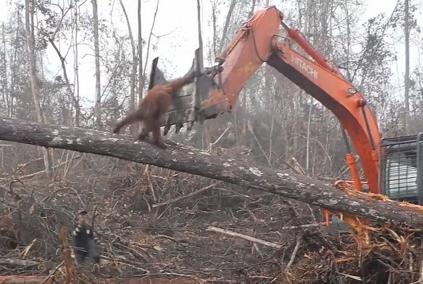 Orangutan walczący z buldożerem na Borneo