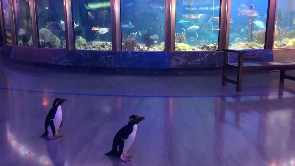 Pingwiny spacerują po akwarium w Chicago.
