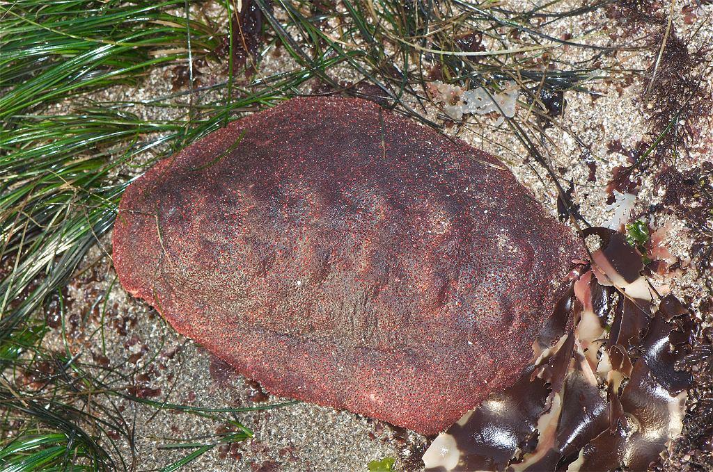 Cryptochiton stelleri, zwany 'Wędrownym klopsem' to największy znany gatunek morskiego mięczaka