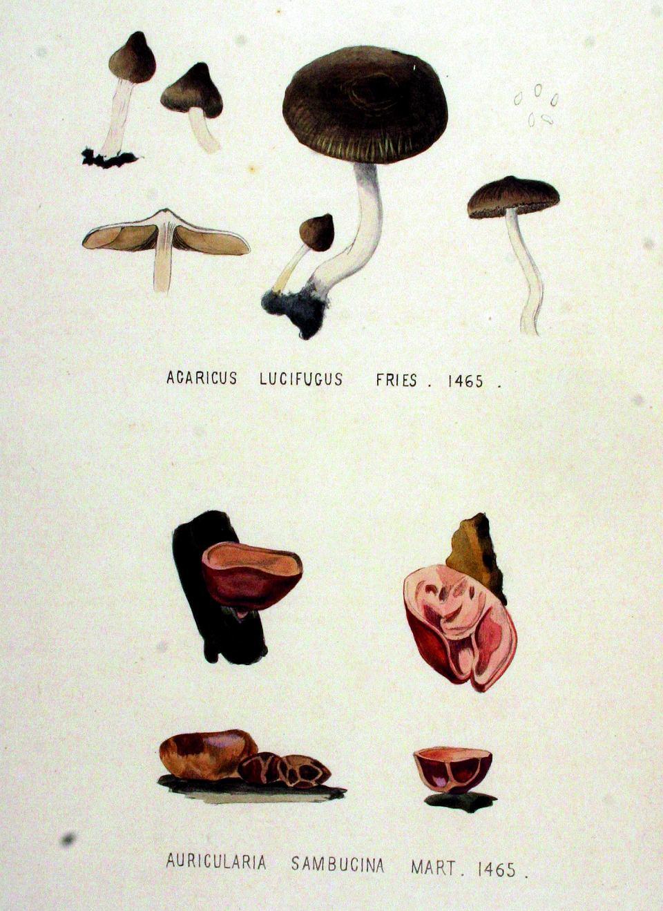 Zdjęcie numer 1 w galerii - Uszaki - grzyby, które możemy zbierać zimą i nigdy nie są robaczywe