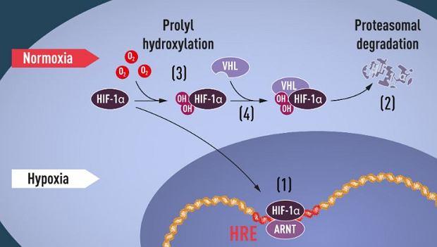 Rysunek jest przejrzysty, ale do pełnego poznania procesu przyda się już wiedza z chemii i fizjologii. Gdy poziom tlenu jest niski (niedotlenienie, hypoxia), HIF-1? jest chroniony przed zniszczeniem i gromadzi się w jądrze, gdzie wiąże się z ARNT i wiąże i specyficznymi sekwencjami DNA (HRE) w genach regulowanych przez niedotlenienie (1). Przy normalnym poziomie tlenu, HIF-1? jest szybko degradowany przez proteasom, czyli obecny w jądrze komórki i cytoplazmie agregat enzymatyczny, odpowiedzialny za rozkład białek (2). Tlen reguluje proces degradacji poprzez dodanie grup hydroksylowych (OH) do HIF-1? (3). Białko VHL może następnie rozpoznać i utworzyć kompleks z HIF-1?, co prowadzi do jego degradacji w sposób zależny od tlenu (4).