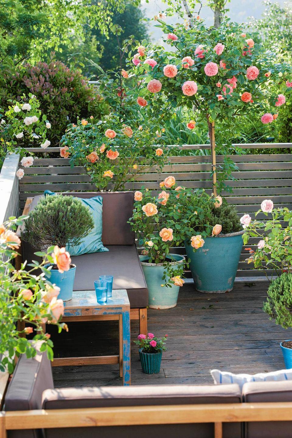 Różane drzewko nie zajmuje dużo miejsca - zmieści się więc i na bardzo małym balkonie.