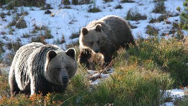 niedźwiedzie w Tatrach, zdjęcie ilustracyjne