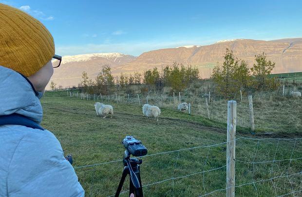 Znakiem rozpoznawczym Islandii są też owce