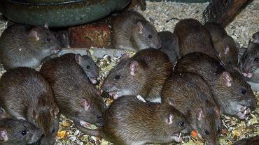 Szczury, zupełnie jak ludzie, nie lubią krzywdzić innych