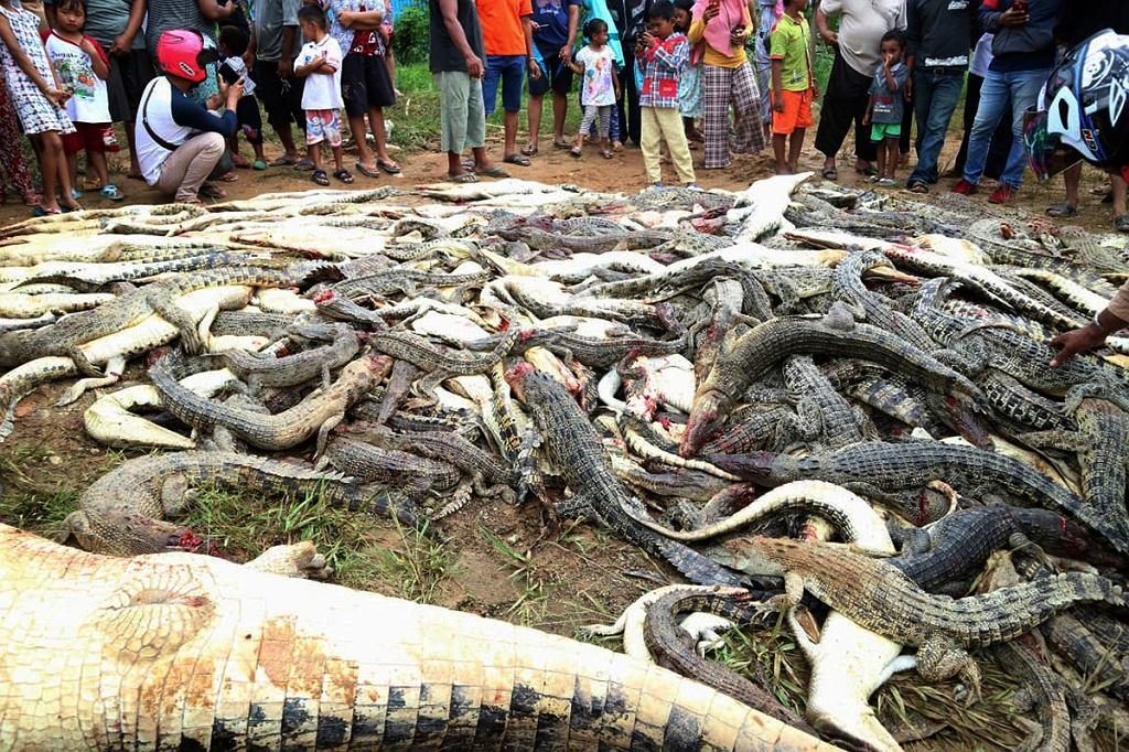 Indonezja. Zabite w zemście krokodyle