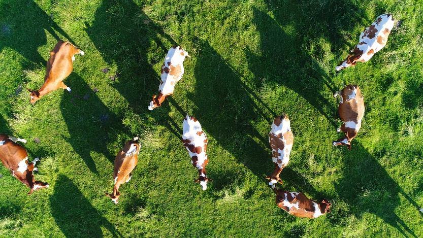 Wytwórcy sera często oprowadzają gości po swoich farmach