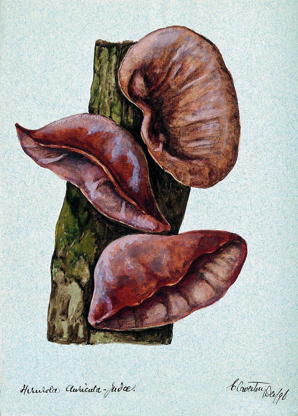 Zdjęcie numer 2 w galerii - Uszaki - grzyby, które możemy zbierać zimą i nigdy nie są robaczywe