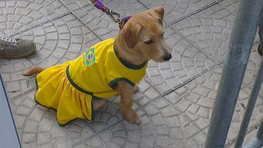 Pies w barwach Brazylii