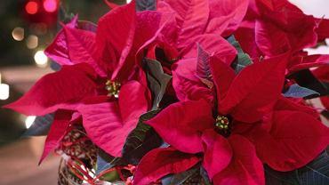 Gwiazda betlejemska najbardziej szkodliwych substancji ma w swych kolorowych przykwiatkach.