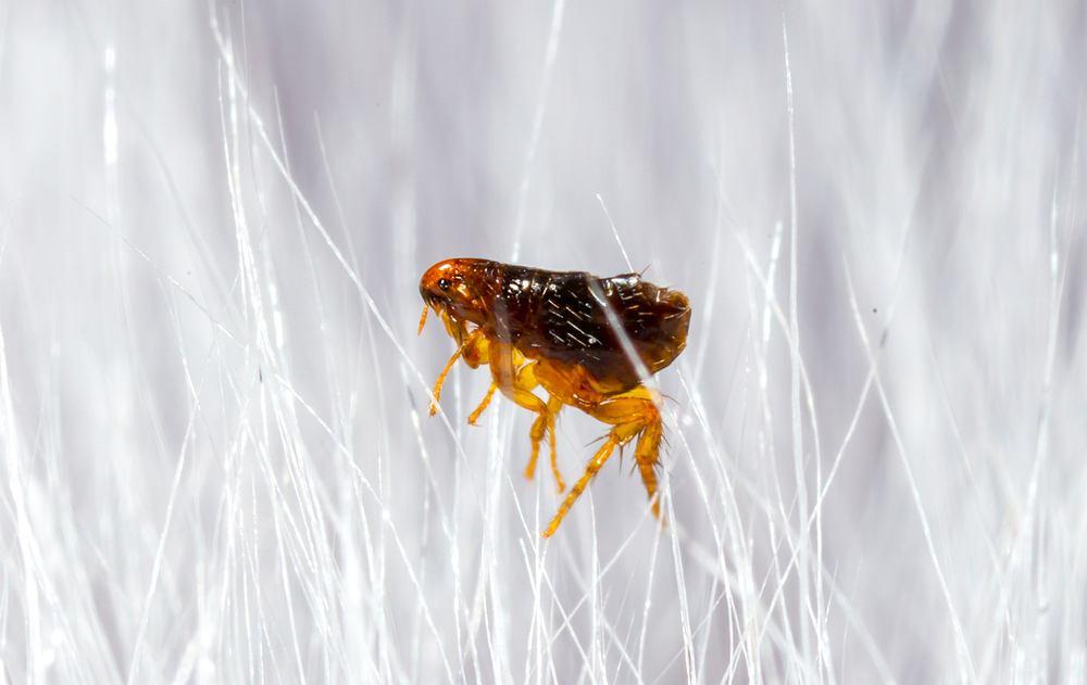 Sennik: pchły. Jak odczytywać sen o małych, nieprzyjemnych i gryzących insektach? Zdjęcie ilustracyjne