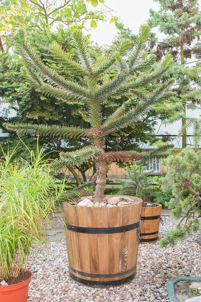 Araukaria chilijska zwana jest małpim drzewem. Zdjęcie ilustracyjne