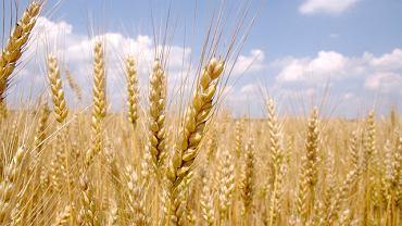 Gluten to białko roślinne, które występuje naturalnie w pszenicy, jęczmieniu i życie