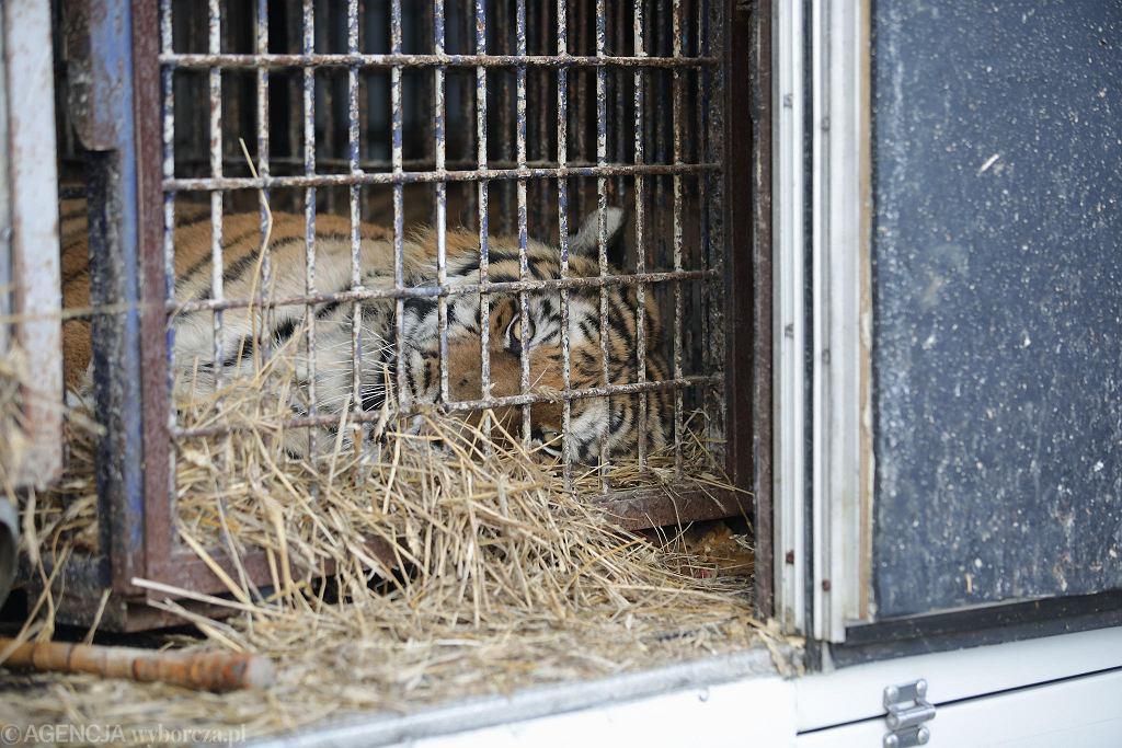 Jeden z tygrysów znalezionych w ciężarówce na polsko-białoruskiej granicy