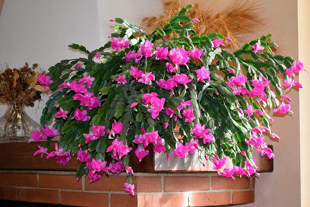 Grudnik to bardzo dekoracyjny kwiat. Zdjęcie ilustracyjne