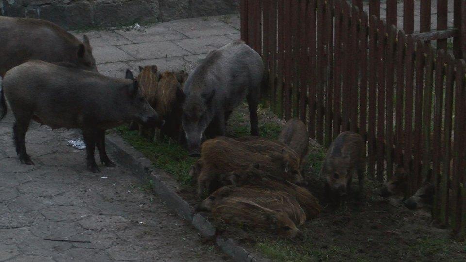 Dziki w Świnoujściu