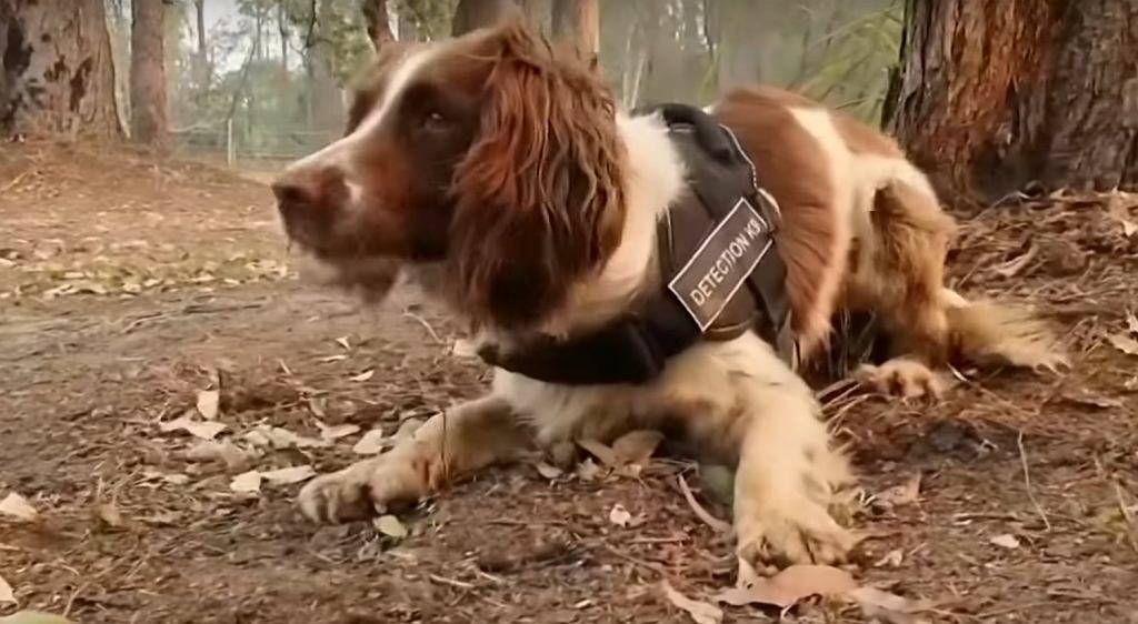 Suczka Taylor, która ratuje koale z pożarów lasów w Australii.