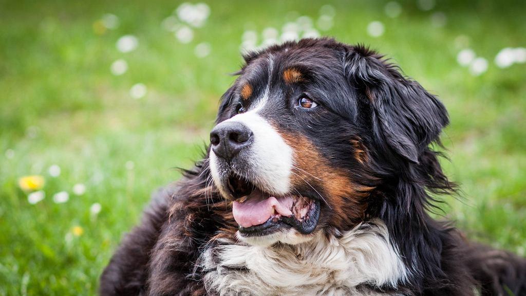 Berneńczyk czyli berneński pies pasterski