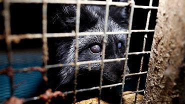 Polska zajmuje trzecie miejsce na świecie pod względem liczby zwierząt zabijanych na futro. Wyprzedzają nas tylko Dania i Chiny