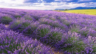 Lawenda znajduje swoje zastosowanie głównie w aromaterapii