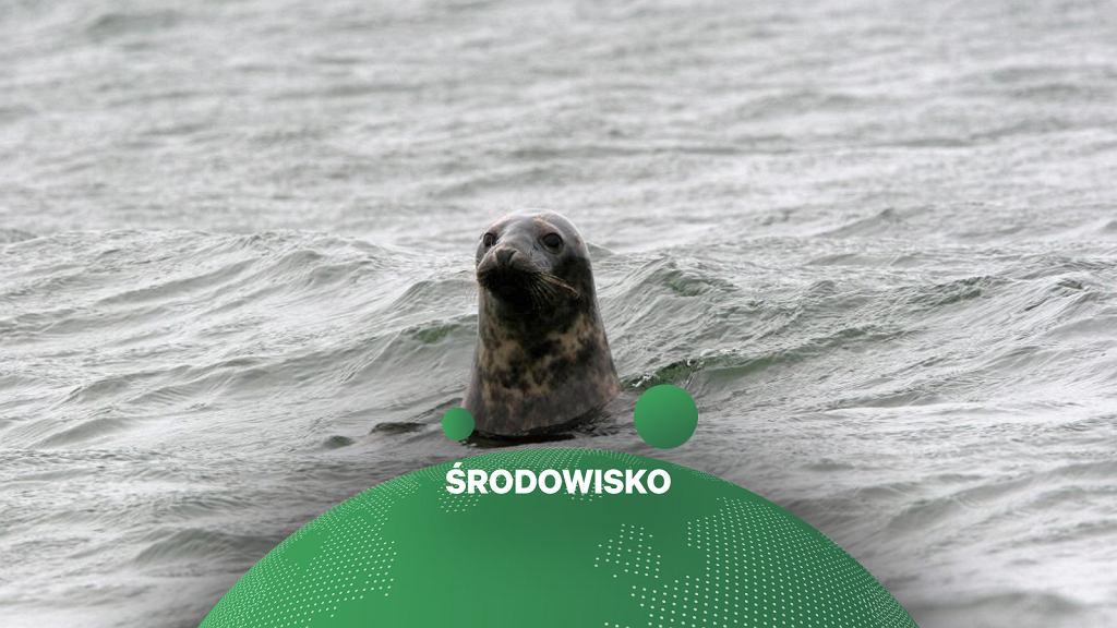 Foka w Bałtyku.
