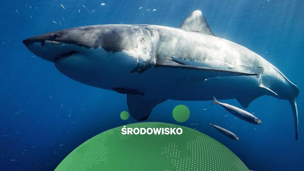 Rekiny jak ptaki. Wykorzystują pole magnetyczne w nawigacji niczym GPS (zdjęcie ilustracyjne)