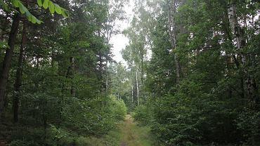 Jaworzno, las