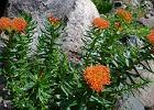 Różeniec górski (Rhodiola rosea L.)