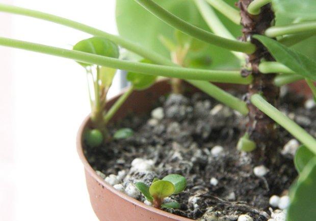 Zdjęcie numer 2 w galerii - Pieniążek (Pilea Peperomioides) - modna roślina, którą naprawdę trudno kupić