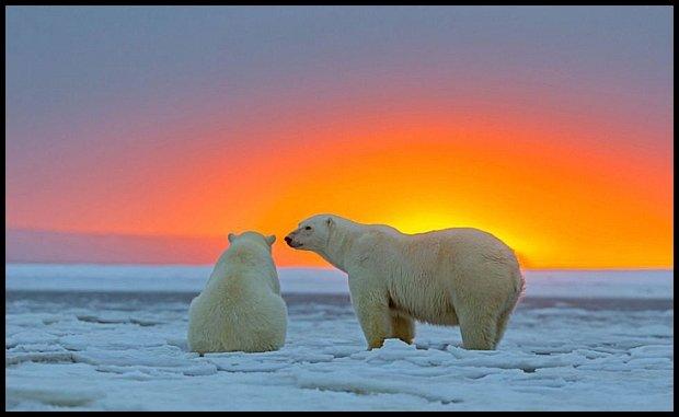 http://www.mymodernmet.com/profiles/blogs/sylvain-cordier-polar-bears