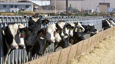 Farma zwierząt rzeźnych w Grand View w stanie Idaho