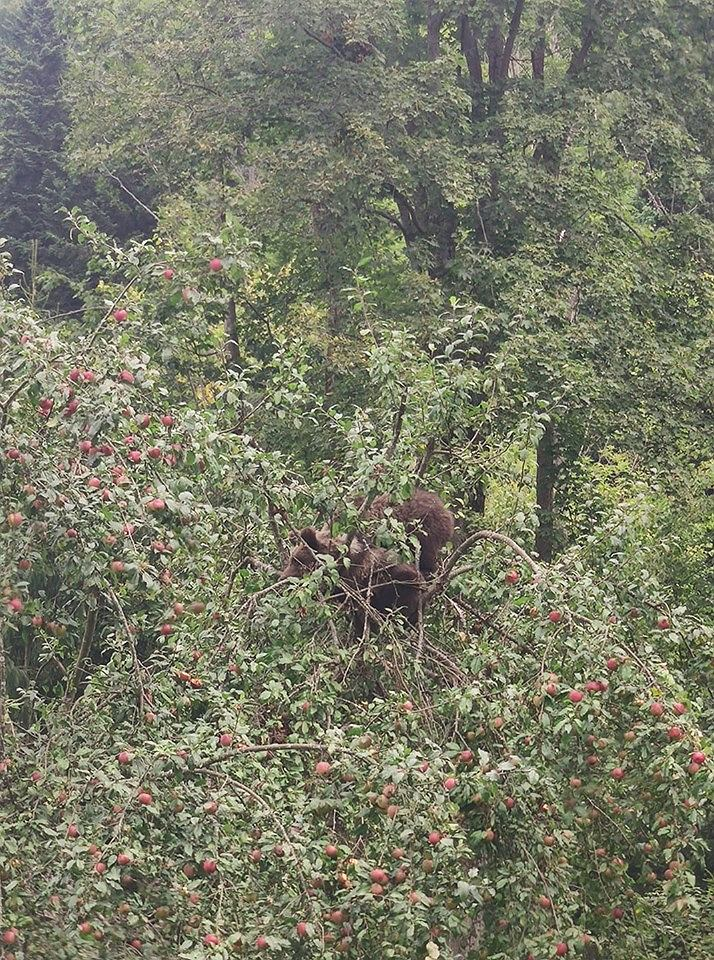 Bieszczady/Polanki. Dwa niedźwiadki na czubku jabłoni