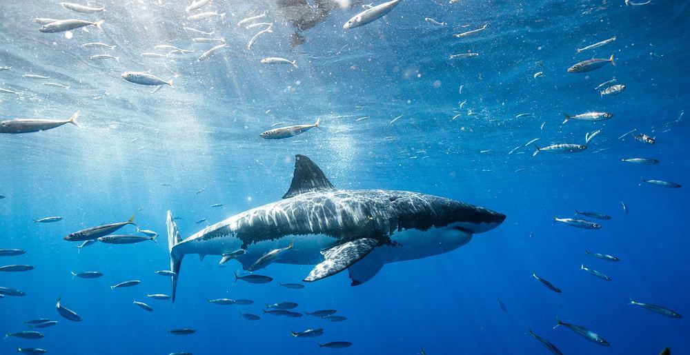 Rekiny są zagrożonym gatunkiem