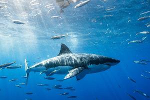 Rekinów coraz mniej. Kto kogo ma się bać?
