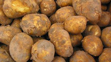 Ministerstwo rolnictwa ostrzega przez ziemniakami z Egiptu