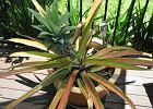 Ananas, imbir, sałata - rośliny, które odrosną z resztek