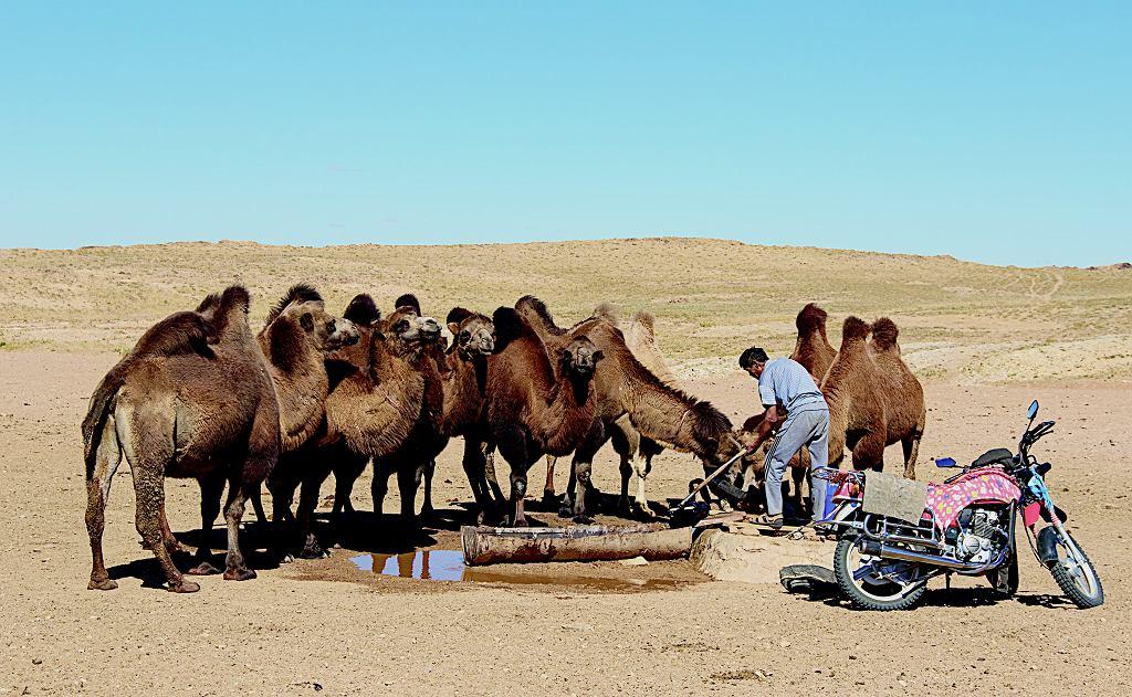 Dwugarbne wielbłądy to baktriany. W Mongolii żyją także dziko. Oczywiście nie te.