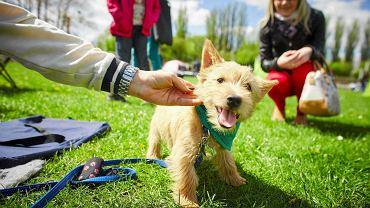 Międzynarodowa wystawa psów rasowych na stadionie Start Łódź, na zdjęciu pies rasy norwich terrier