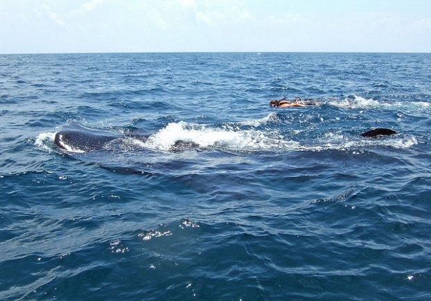 Snorkeling z wielorybem/ Fot. CC BY-NC-SA 2.0/ Doug Finney/ Flickr.com
