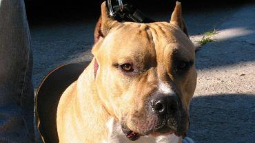 Nawet 5 tys. złotych kary grozi od teraz właścicielowi psa rasy niebezpiecznej za spacer bez smyczy i kagańca